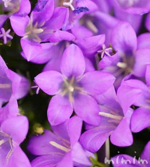 ベルフラワー(オトメギキョウ)の花の写真・花言葉・名前の由来