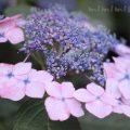 ガクアジサイの写真&花言葉の画像