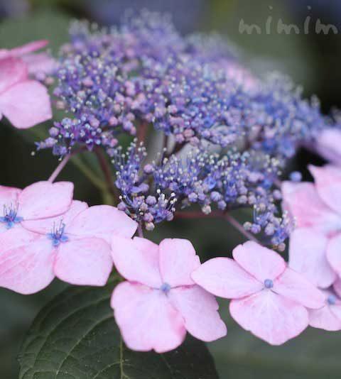 ガクアジサイ・額アジサイ(花の写真&花言葉)