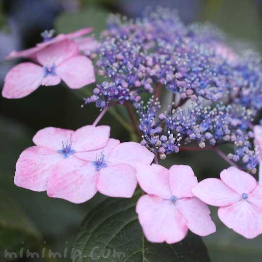 額紫陽花の写真と花言葉の画像