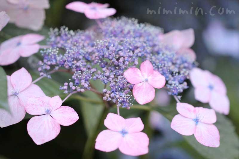 ガクアジサイの花の写真&花言葉の画像