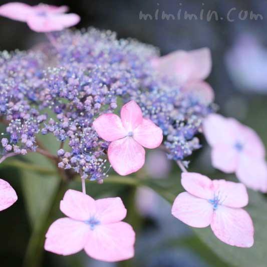 額紫陽花の花の写真と花言葉の画像