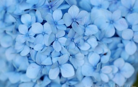 紫陽花の花言葉と毒性と薬効の写真