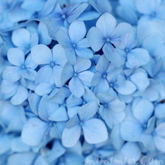 あじさいの花言葉と毒性と薬効の画像