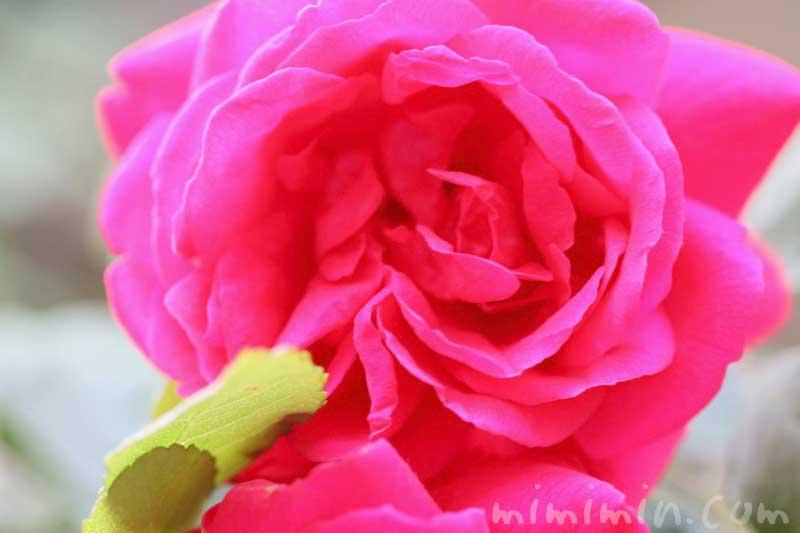 赤い薔薇の写真|バラの花言葉の画像・誕生花