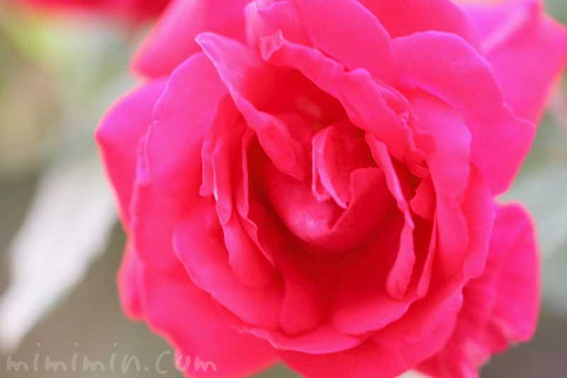薔薇(赤色)の写真|バラの花言葉・誕生花