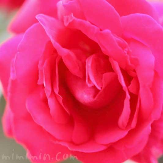 薔薇(赤)の花の写真|バラの花言葉