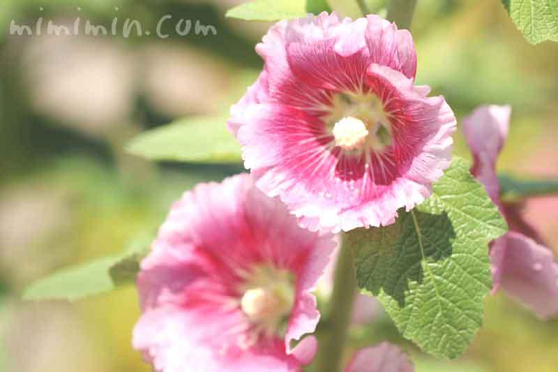梅雨葵の花の画像