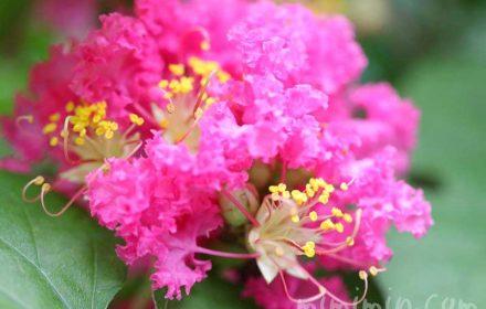 サルスベリの写真 花言葉の画像