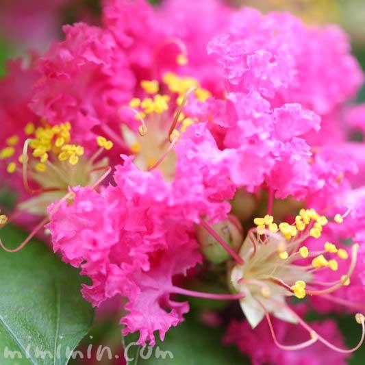 サルスベリの花の写真 花言葉の画像
