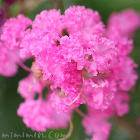 サルスベリの花の写真と花言葉
