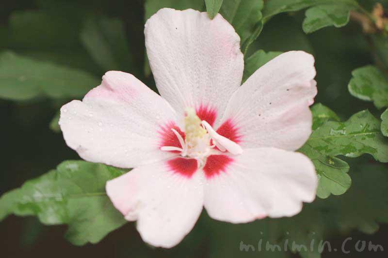 木槿の写真と花言葉の画像