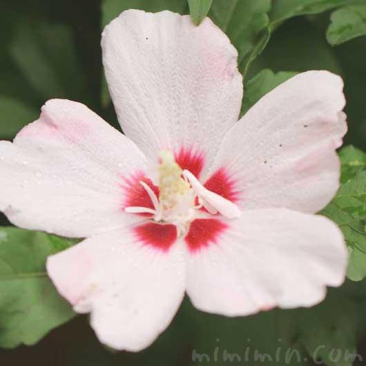 ムクゲの花の写真・花言葉