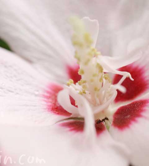 ムクゲの花の写真・花言葉・効能・誕生花