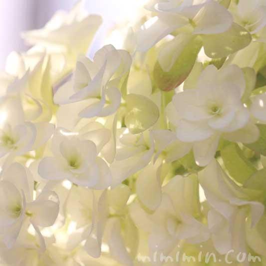 カシワバアジサイの花の写真・花言葉の画像