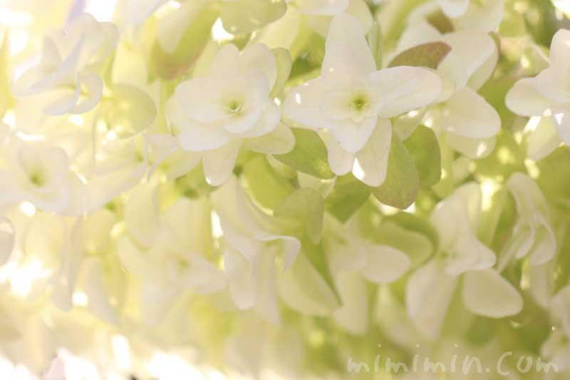 カシワバアジサイの写真と花言葉の画像