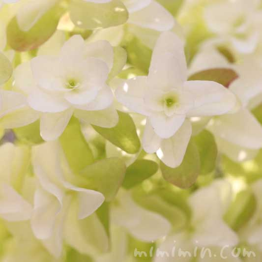 柏葉紫陽花の花の写真・花言葉