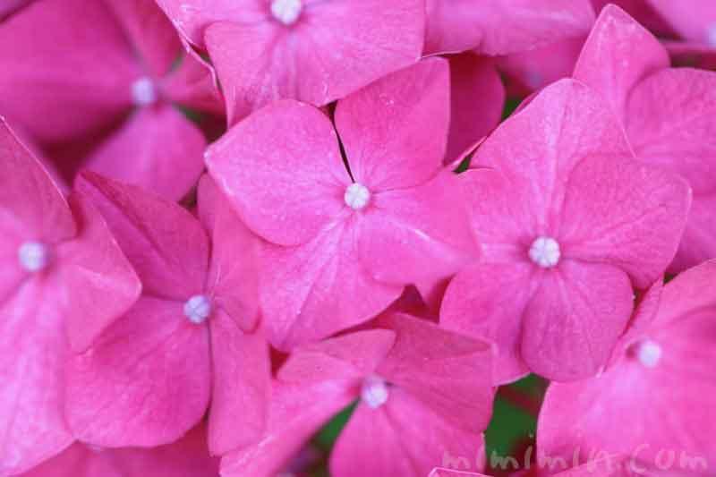 あじさい(ピンク)の写真と花言葉の画像