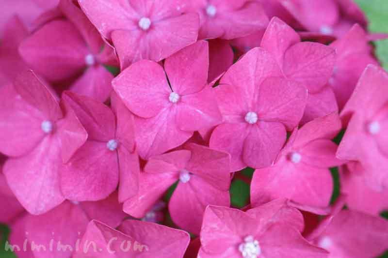 あじさい(ピンク)花の写真と花言葉