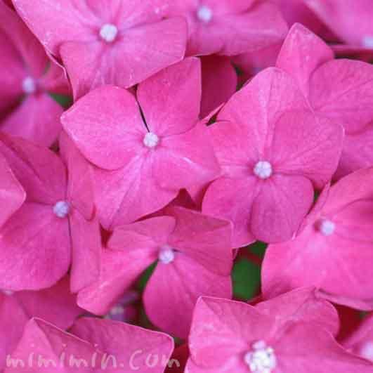 あじさい(ピンク)花の写真と花言葉の画像