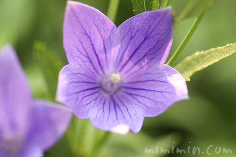 キキョウ・紫の画像
