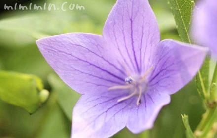 キキョウの花・紫の画像