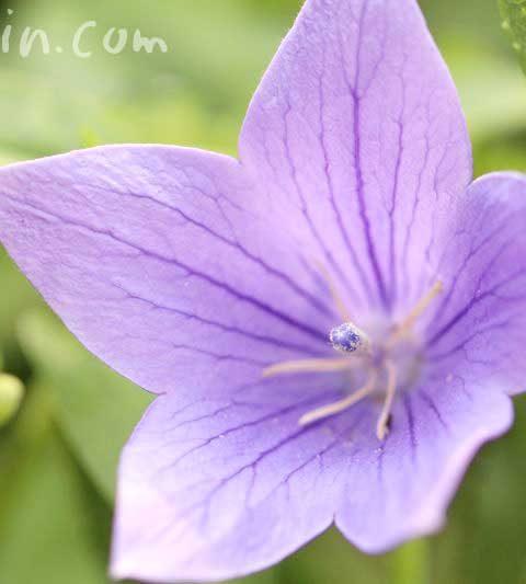 キキョウ(桔梗)の花の写真・花言葉・名前の由来