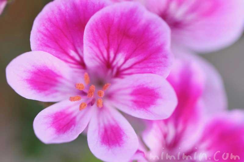 ペラルゴニウムの花言葉の画像