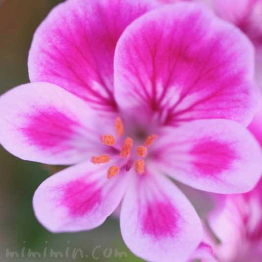 ペラルゴニウムの花の写真・花言葉