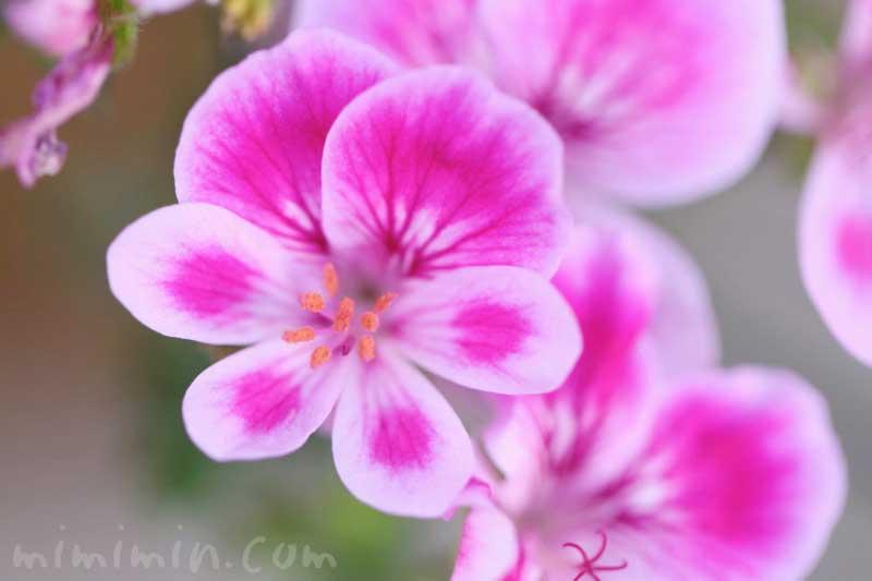 ピンクのペラルゴニウムの花の写真と花言葉の画像
