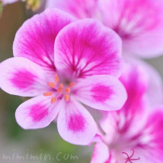 ペラルゴニウム 花言葉