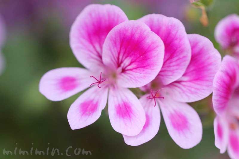 ペラルゴニウムの写真(ピンク)・花言葉の画像