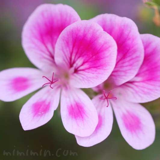 ペラルゴニウムの写真(ピンク)と花言葉