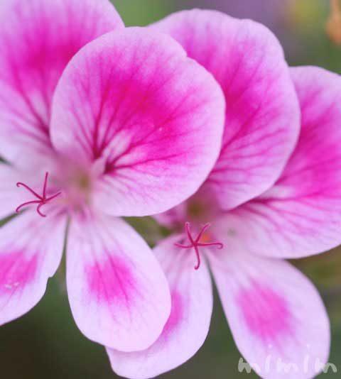 ペラルゴニウムの花の写真・花言葉・名前の由来