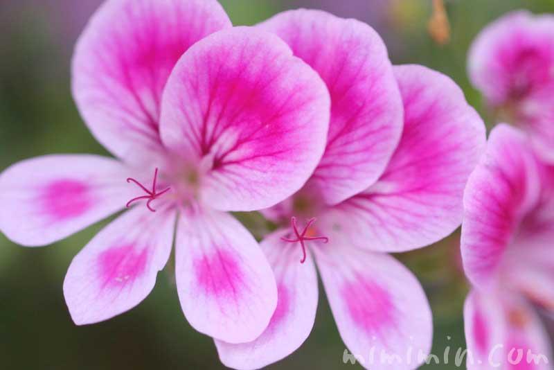 ペラルゴニウムの写真・花言葉の画像