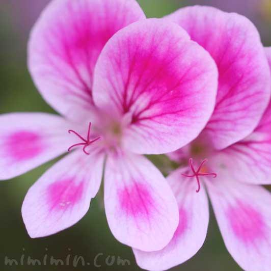 ペラルゴニウムの写真と花言葉