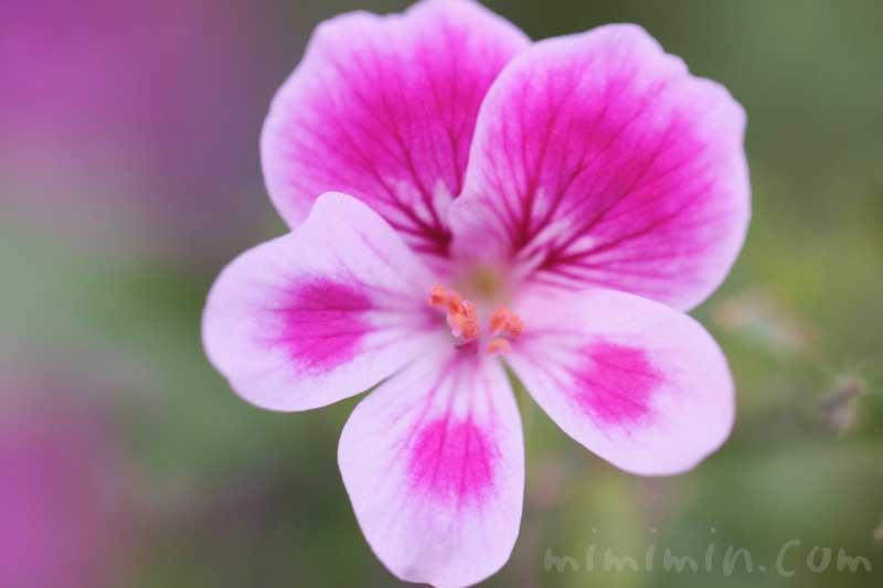 ペラルゴニウムの花の写真・花言葉の画像