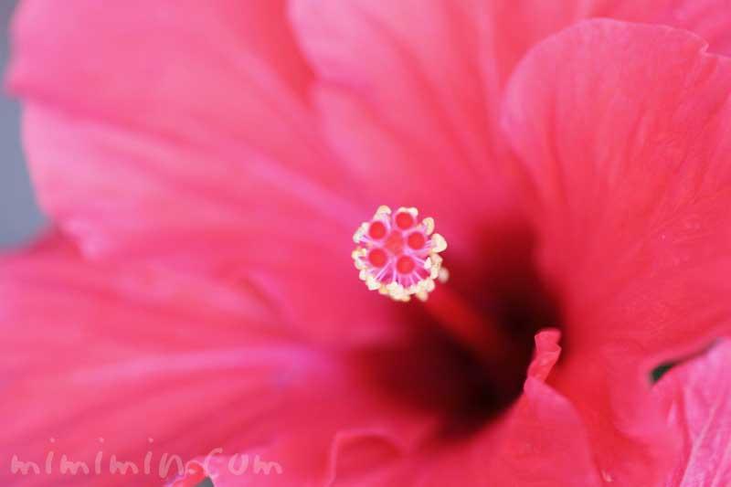 ハイビスカスの写真と花言葉