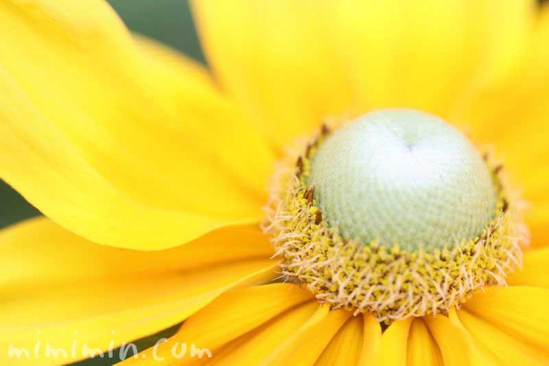 コーンフラワー|ルドベキアの花の写真