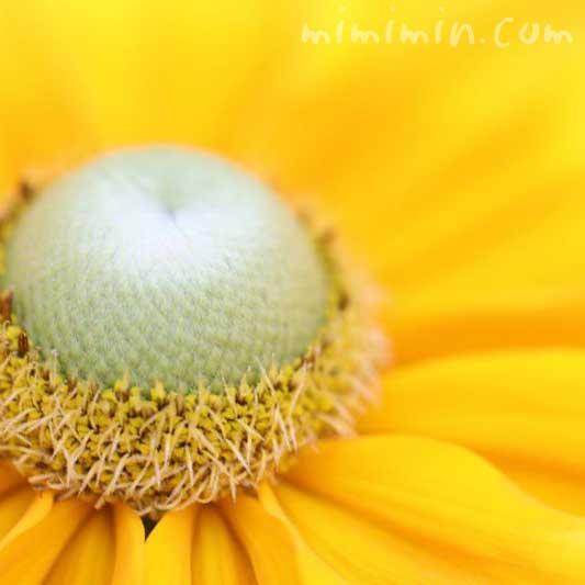 グロリオサデージー|ルドベキアの花の写真