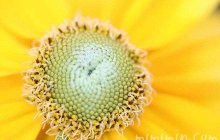 オオハンゴンソウ|ルドベキアの花の画像