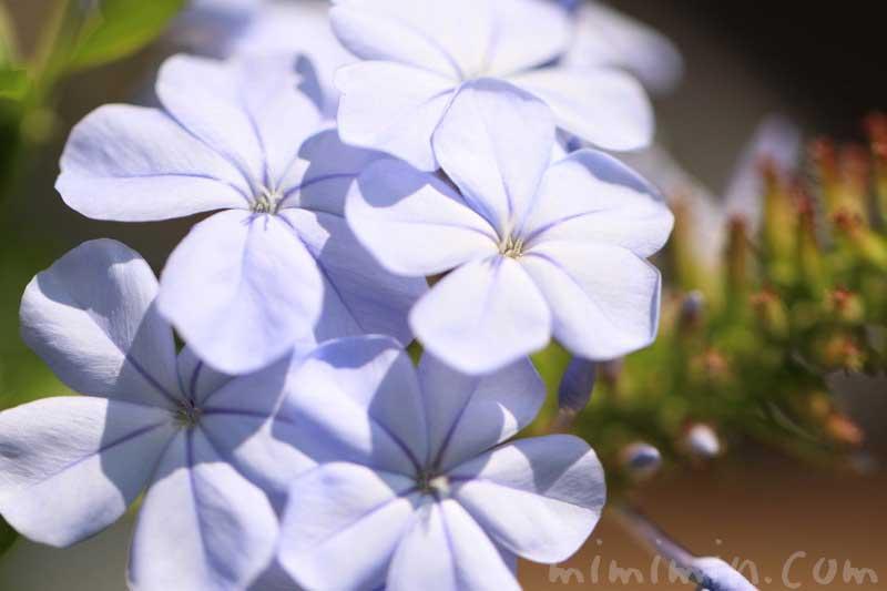 瑠璃茉莉の写真と花言葉の画像
