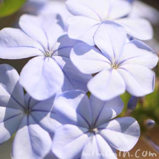 ルリマツリの花の写真と花言葉の画像