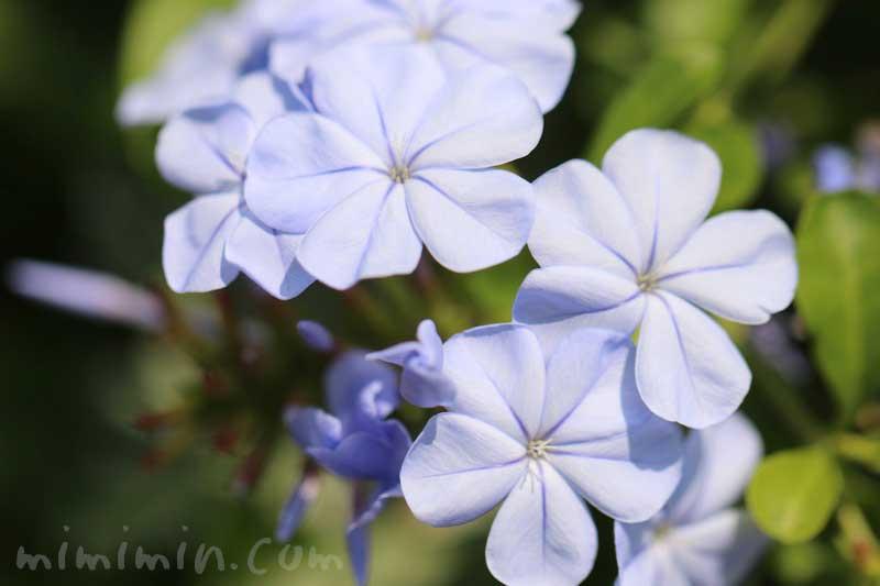 瑠璃茉莉の花言葉と花の写真の画像