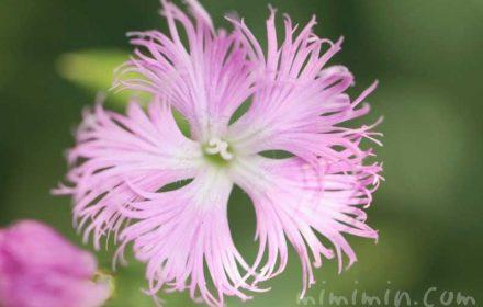 カワラナデシコ(ピンク)の写真・花言葉の画像