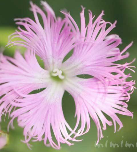 ナデシコの花の写真・花言葉・名前の由来