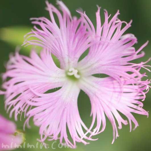 カワラナデシコ(ピンク)の花の写真・花言葉の画像