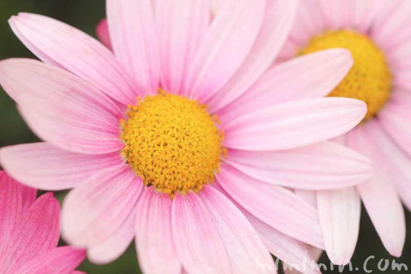 ピンク色のマーガレットの写真と花言葉と誕生花の画像