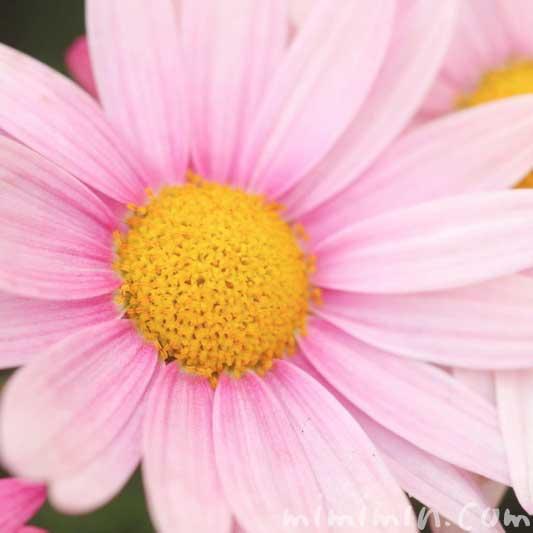 ピンク色のマーガレットの写真 花言葉 誕生花
