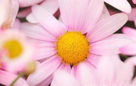 ピンク色のマーガレットの写真・花言葉の画像